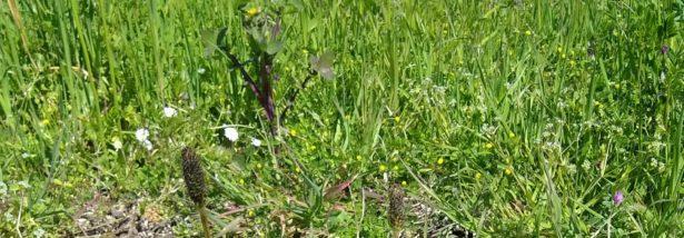 Le Plantain lancéolé bienfaits – Plantago lanceolata