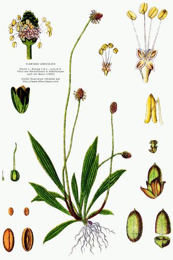 plantain lancéolé bienfaits