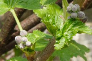 bourgeons de plante
